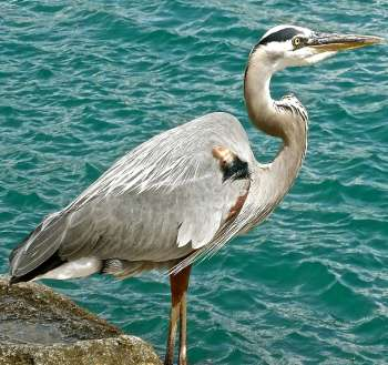 hp-great-blue-heron.jpg